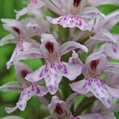 210625 common spotted-orchid (8)