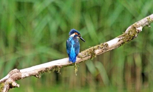 210628 kingfisher (1)