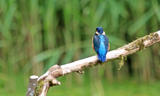 210628 kingfisher (2)