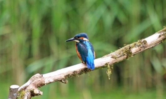 210628 kingfisher (3)