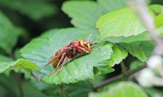 210629 european hornet (2)