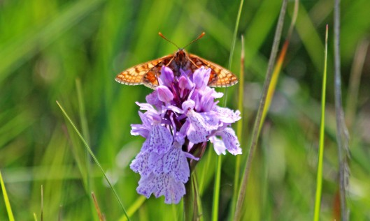 210704 Heath spotted-orchid (1)