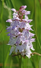 210704 Heath spotted-orchid (3)