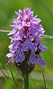 210704 Heath spotted-orchid (4)