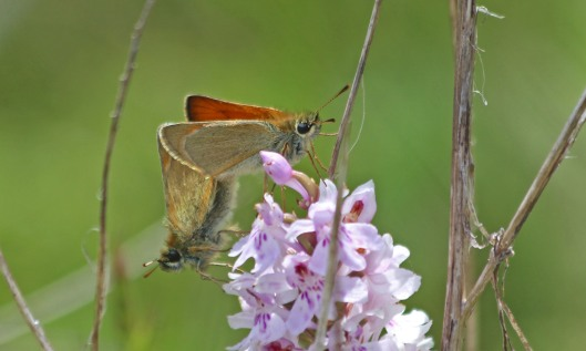 210712 small skippers (1)