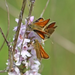 210712 small skippers (2)