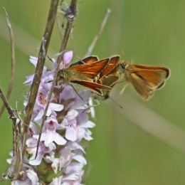 210712 small skippers (3)