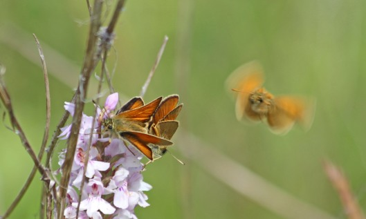 210712 small skippers (4)