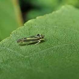 210713 Eupterycyba jucunda (1)