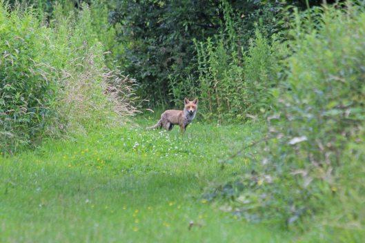 210714 fox