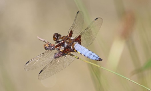 210720 broad-bodied chaser
