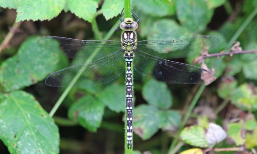 210720 southern hawker