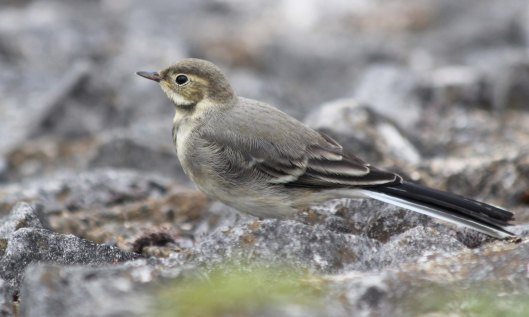 210721 pied wagtail fledgling (1)