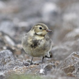 210721 pied wagtail fledgling (3)