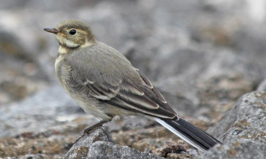 210721 pied wagtail fledgling (4)