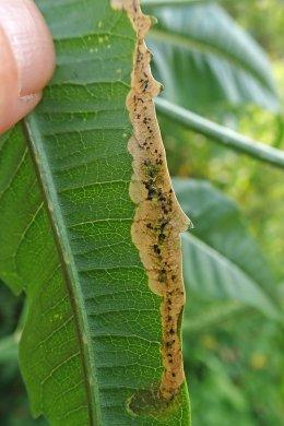 210726 Agromyza dipsaci (2)