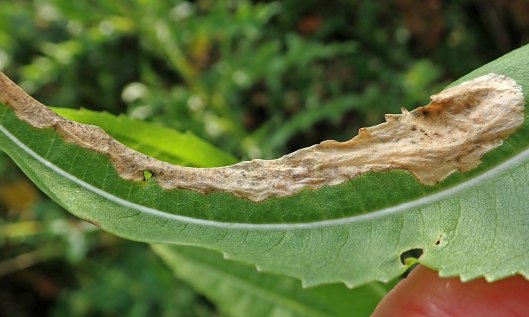 210726 Agromyza dipsaci (4)