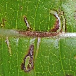 210727 Chromatomyia ramosa (3)