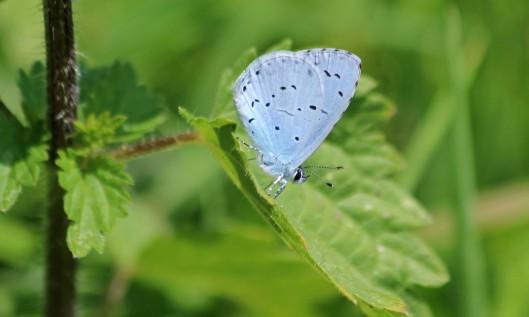 210804 holly blue