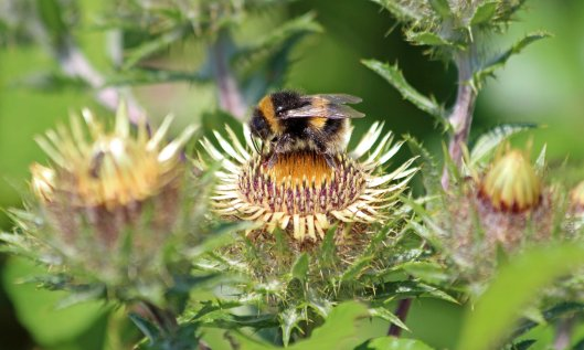 210808 bumble and carline thistle (1)