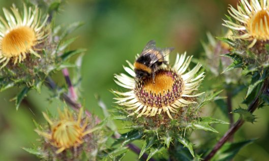 210808 bumble and carline thistle (2)