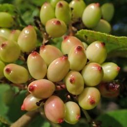 210809 wayfarer berries (1)