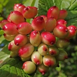210809 wayfarer berries (2)
