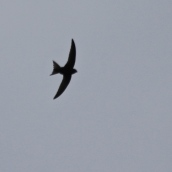 210813 swifts (2)