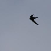 210813 swifts (4)