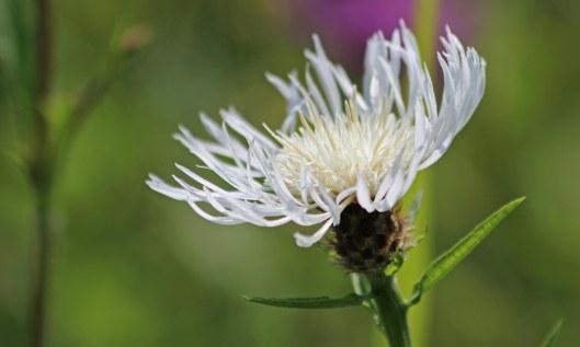 210815 knapweed white