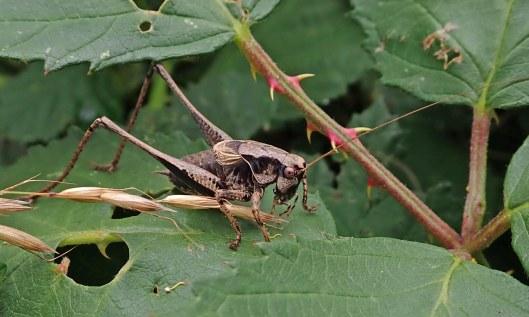 210816 dark bush-cricket