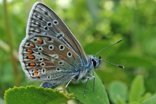 210817 common blue