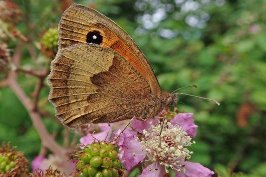 210817 meadow brown