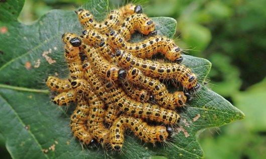 210818 buff tip moth larvae (2)
