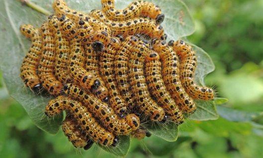 210818 buff tip moth larvae (3)