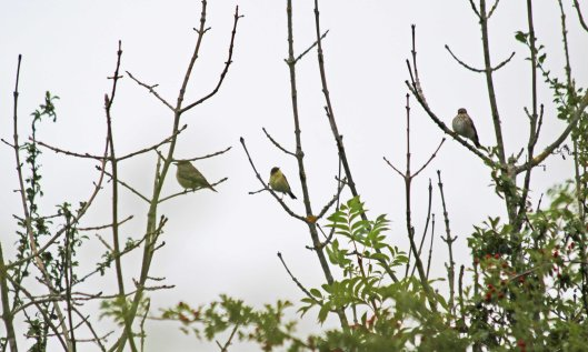 210819 spotted flycatchers