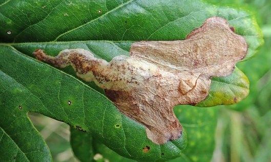 210830 profenusa pygmaea leafmine (1)