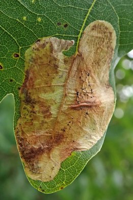 210830 profenusa pygmaea leafmine (2)