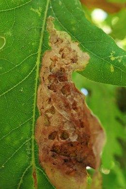 210830 profenusa pygmaea leafmine (3)