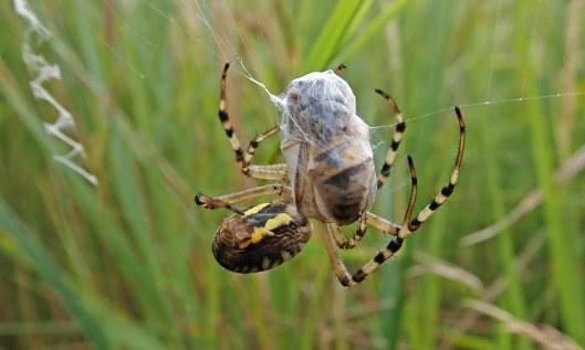210831 wasp spider (4)