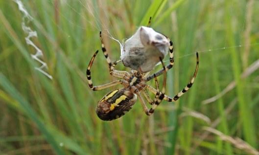 210831 wasp spider (5)
