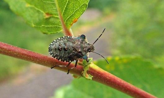 210903 red-legged shieldbug final instar