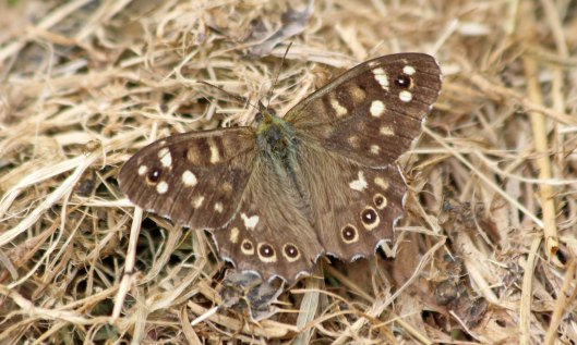 210907 speckled wood (1)