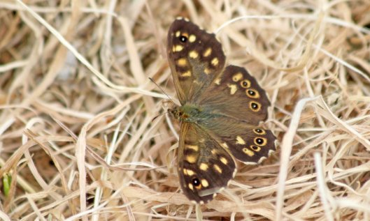 210907 speckled wood (2)