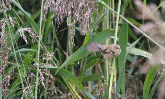 210911 reed warbler (1)