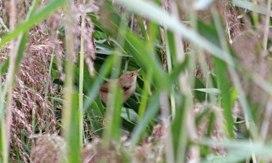 210911 reed warbler (2)