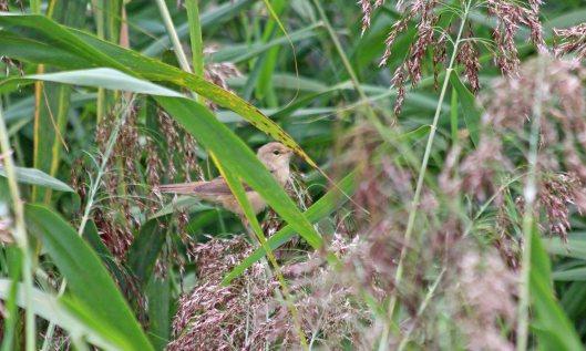 210911 reed warbler (3)