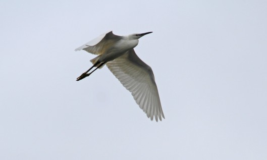 210916 little egret (2)