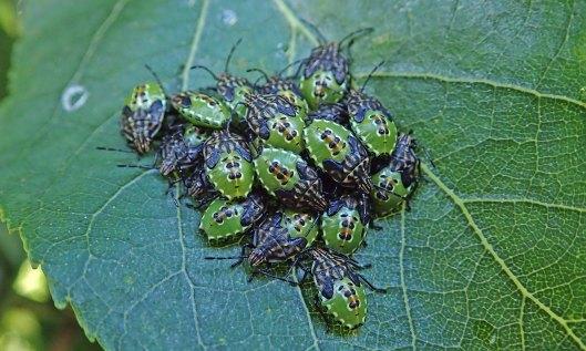 210921 parent bug nymphs