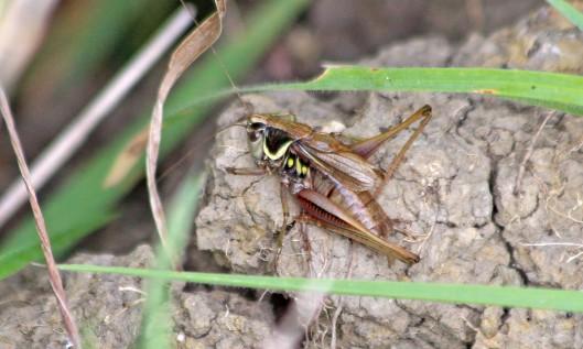 210925 roesel's bush-cricket (3)